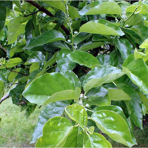 Eetbare tuin-edible garden Cudrania tricuspidata - Chinese strawberry tree