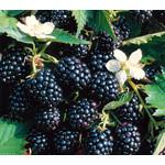 Eetbare tuin-edible garden Rubus fruticosus Loch Ness - Blackberry