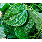 Eetbare tuin-edible garden Piper sarmentosum - Vietnamese leaf pepper