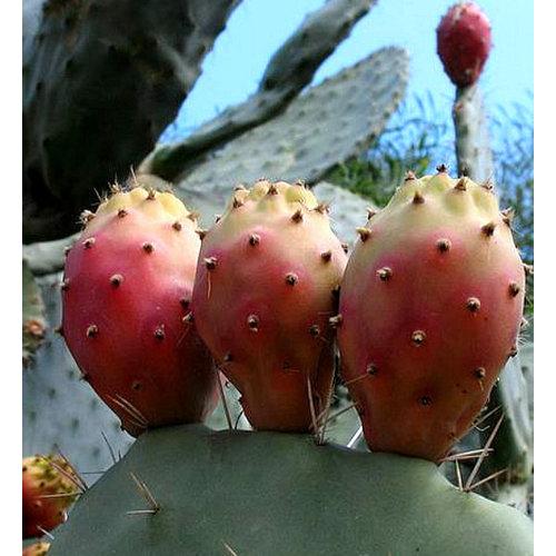 Woestijn-desert Opuntia vulgaris - Vijgcactus