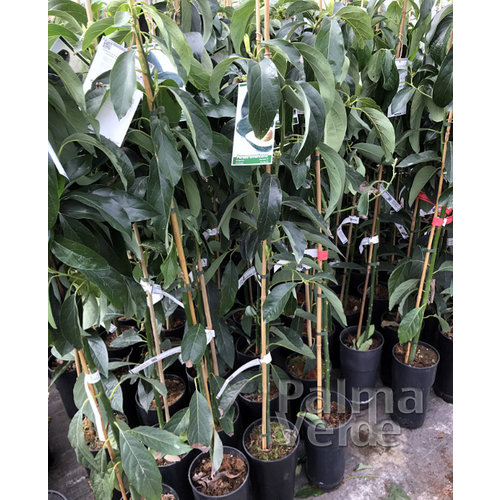 Eetbare tuin-edible garden Persea americana - Avocadoplant