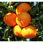Eetbare tuin-edible garden Citrus clementina - Clementine tree