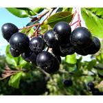 Eetbare tuin-edible garden Aronia melanocarpa - Zwarte appelbes