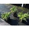 Siergrassen-ornamental grasses Ophiopogon japonicus Minor