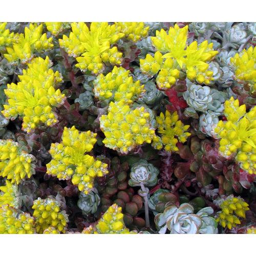 Bloemen-flowers Sedum spathulifolium Cape Blanco