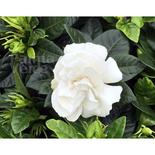 Bloemen-flowers Gardenia jasminoides Grandiflora - Cape jasmine