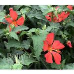 Bloemen-flowers Pavonia missiomum - Red mallow