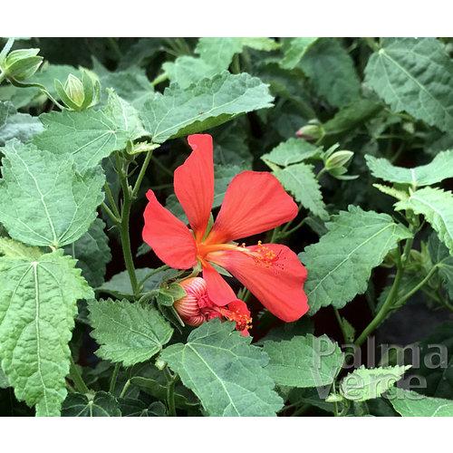 Bloemen-flowers Pavonia missiomum - Rode kaasjeskruid