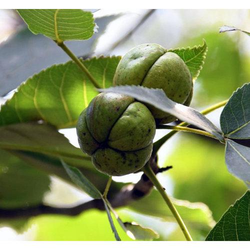 Eetbare tuin-edible garden Carya ovata - Witte bitternoot