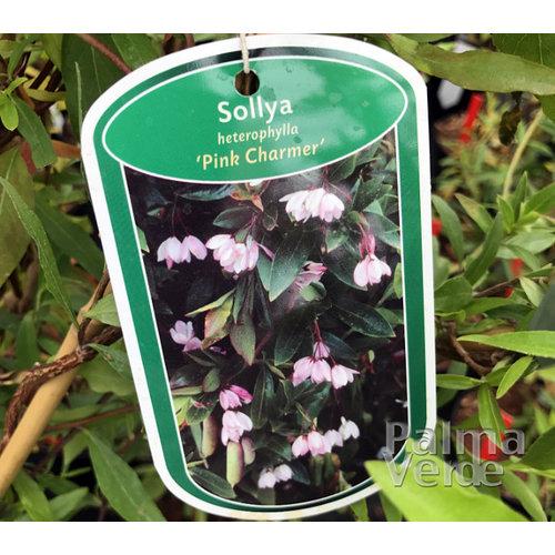 Bloemen-flowers Sollya heterophylla Pink Charmer