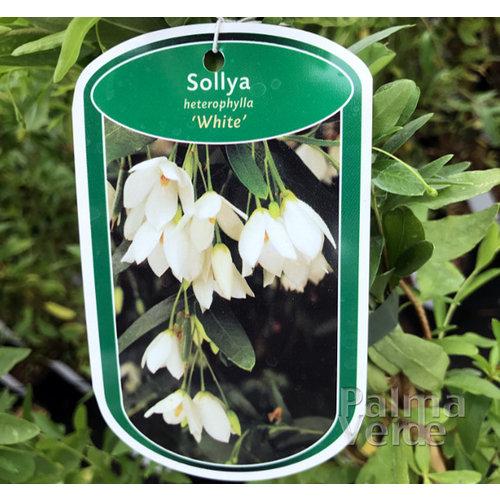 Bloemen-flowers Sollya heterophylla White