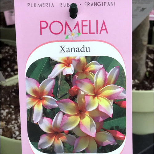 Bloemen-flowers Plumeria rubra Xanadu - Frangipani - Tempelboom
