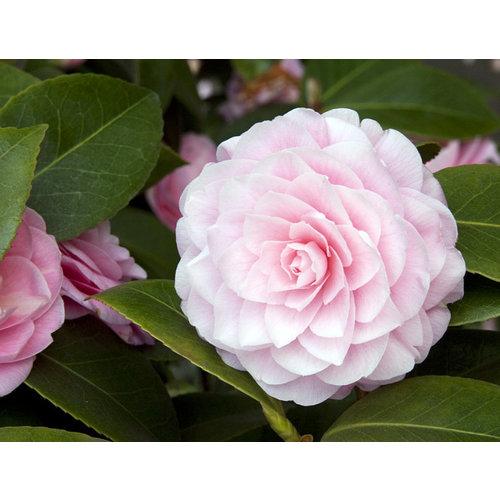 Bloemen-flowers Camellia japonica Pearl Maxwell - Japanse roos