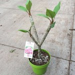 Bloemen-flowers Plumeria rubra Inca Gold - Frangipani - Temple tree