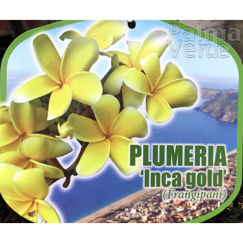 Bloemen-flowers Plumeria rubra Inca Gold - Frangipani - Tempelboom