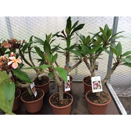 Bloemen-flowers Plumeria rubra Lemon Drop - Frangipani - Tempelboom