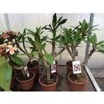 Bloemen-flowers Plumeria rubra Captivate - Frangipani - Tempelboom