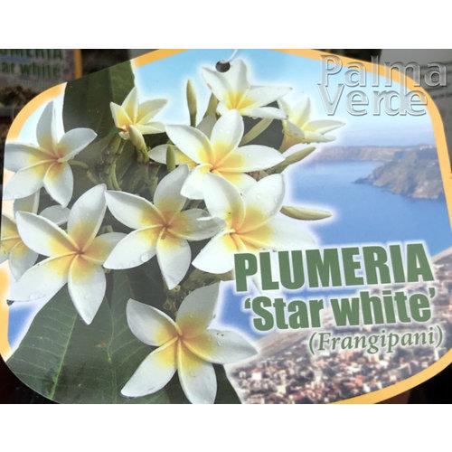 Bloemen-flowers Plumeria rubra Star White - Frangipani - Tempelboom