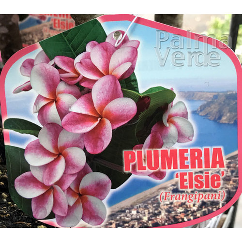 Bloemen-flowers Plumeria rubra Elsie - Frangipani - Tempelboom