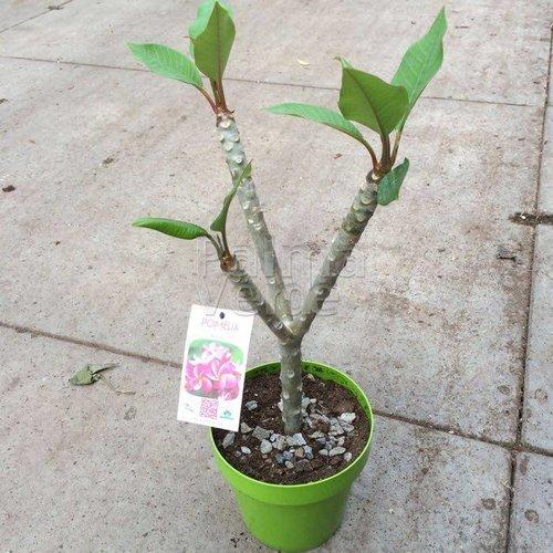 Bloemen-flowers Plumeria rubra Rhapsody - Frangipani - Temple tree