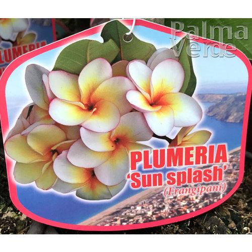 Bloemen-flowers Plumeria rubra Sun Splash - Frangipani - Tempelboom