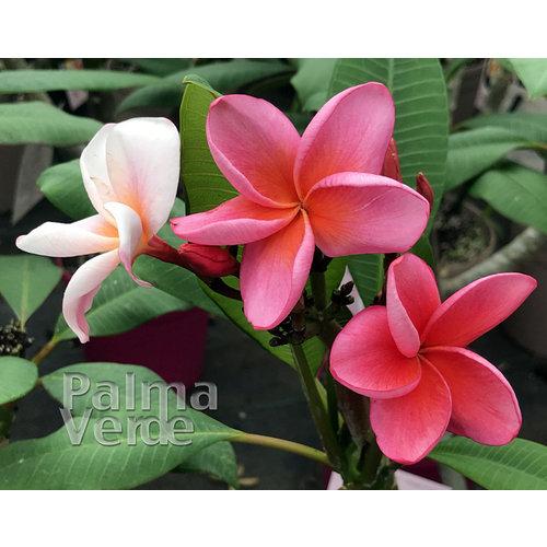 Bloemen-flowers Plumeria rubra Jubilee - Frangipani - Tempelboom