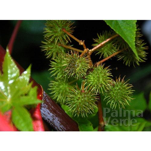 Bloemen-flowers Ricinus communis - Wonderboom