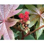 Bloemen-flowers Ricinus communis - Miracle tree