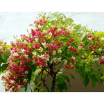 Bloemen-flowers Quisqualis indica - Rangoon creeper