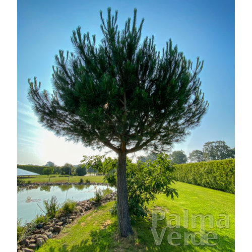 Bomen-trees Pinus pinea - Parasolden - Pijnboom