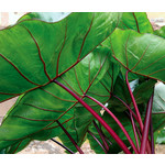 Blad-leaf Colocasia esculenta Hawaiian Punch - Olifantenoor