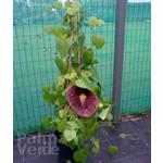 Bloemen-flowers Aristolochia grandiflora - Pijpbloem