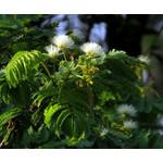 Bloemen-flowers Albizia kalkora - Kalkora mimosa