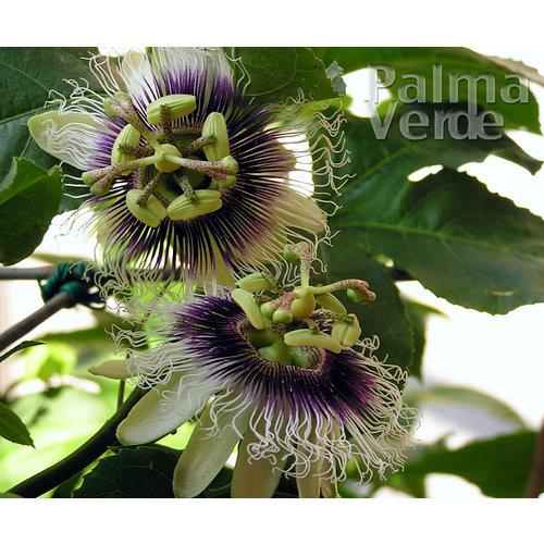 Eetbare tuin-edible garden Passiflora edulis - Passion fruit