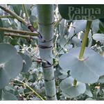 Bomen-trees Eucalyptus perriniana - Eucalyptusboom