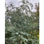 Bomen-trees Eucalyptus perriniana - Eucalyptus tree
