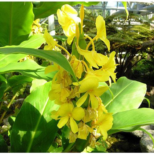 Bloemen-flowers Hedychium wardii - Gember
