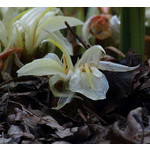Bloemen-flowers Zingiber mioga - Japanse gember