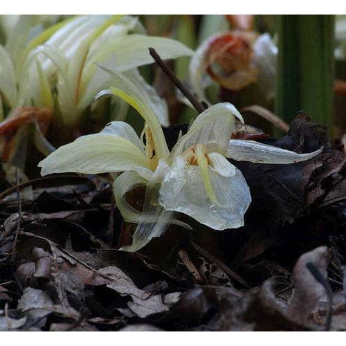 Bloemen-flowers Zingiber mioga - Japanese ginger
