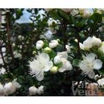 Bloemen-flowers Myrtus communis Microphylla - Mirte struik