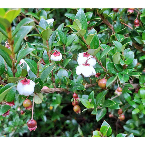 Eetbare tuin-edible garden Ugni molinae - Chileense guave