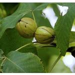 Eetbare tuin-edible garden Carya laciniosa - Koningsnoot
