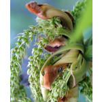 Eetbare tuin-edible garden Carya laciniosa - Shellbark hickory