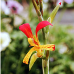 Bloemen-flowers Canna brasiliensis