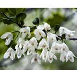 Bomen-trees Halesia carolina - Sneeuwklokjesboom