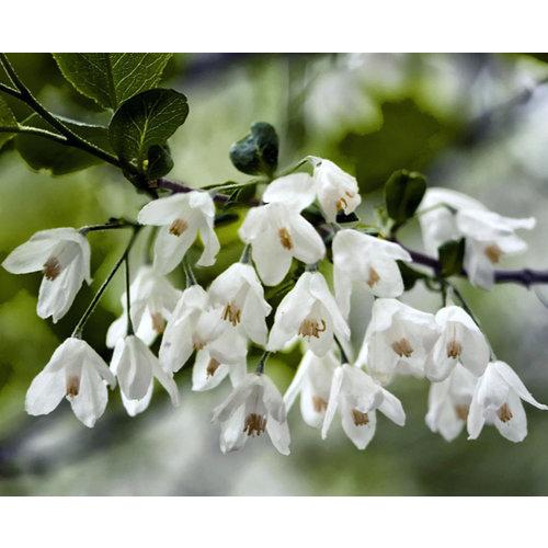 Bomen-trees Halesia carolina - Carolina Silverbell