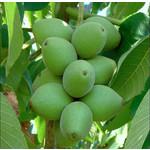 Eetbare tuin-edible garden Juglans ailantifolia Cordiformis - Heartseed Walnut