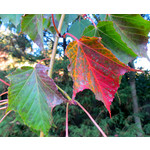 Bomen-trees Acer capillipes - Slangenhuidesdoorn