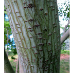 Bomen-trees Acer capillipes - Snake bark maple