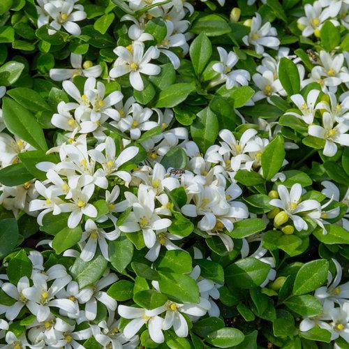 Bloemen-flowers Murraya paniculata - Orange jasmine